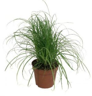 Cyper alt zum kitty grass kattengras